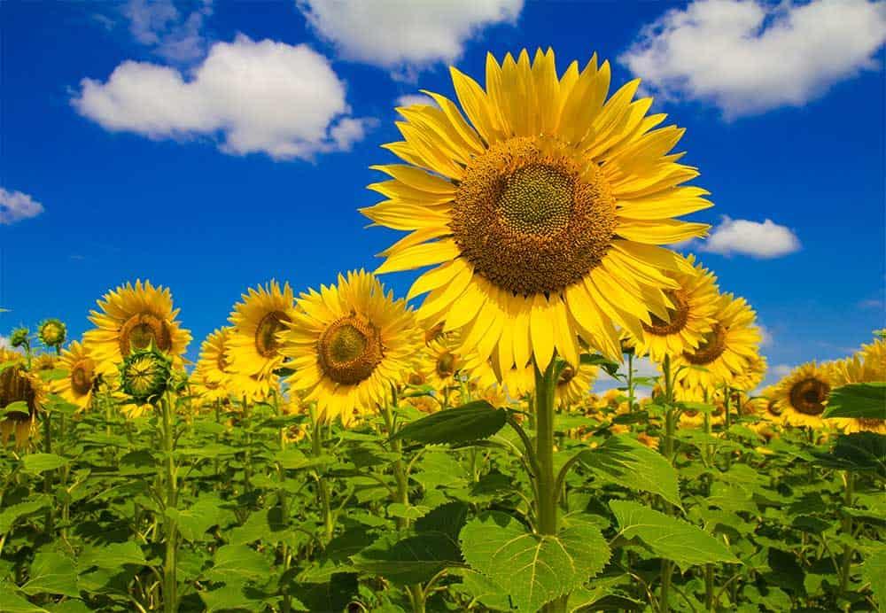 On peut comparer l'Être intérieur au centre d'une fleur de tournesol